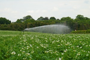 Irrigating potatoes